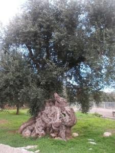 ulivo (1)