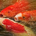 fish @ Morikami Gardens