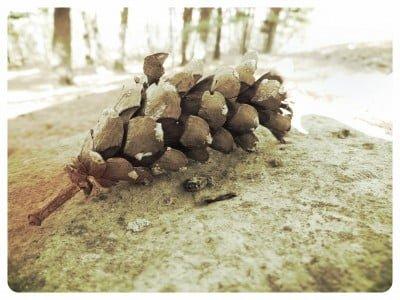 Pine-Cone-Vintange-Grunge-Edit