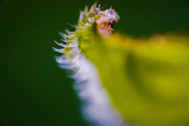 Leaf Fringe