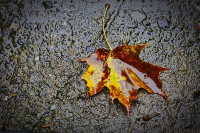 Maple Leaf In The Rain