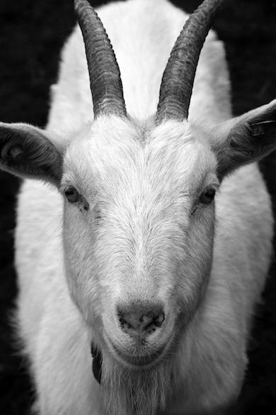 ドヤ顔のヤギ