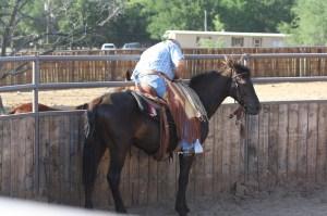 Tex - Morgan gelding  (11)