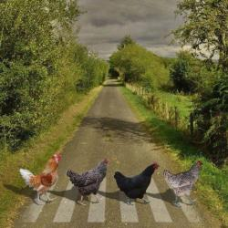 23032016: Abbey Road Galline