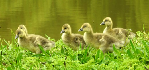 Baby Greylag Geese