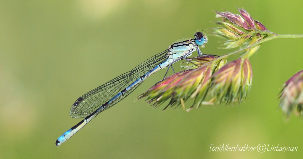 Blue Damselfly taken as part of the Wildlife Trusts 30 Days Wild challenge