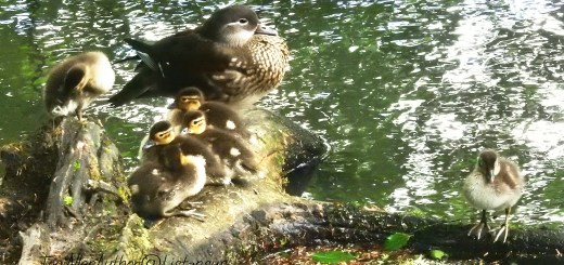 Mandarin duck family taken as part of the 30 days wild challenge with the Wildlife Trusts
