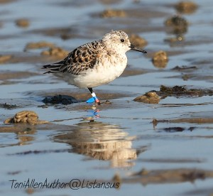 Sandpiper on Elmer beach taken as part of the Wildlife Trusts #30DaysWild challenge for World Oceans Day