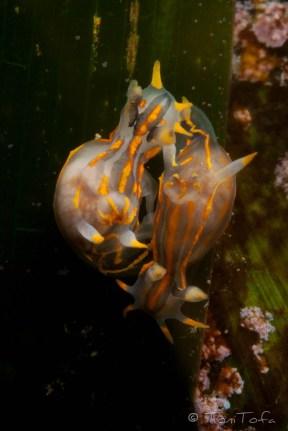 Polycera quadrilineata. Mar Menuda, Tossa de Mar. 5m. 13ºC.