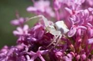 Aranya cranc, Thomisus onustus ( http://blocs.xtec.cat/faunaiflora/2008/06/01/laranya-cranc-2/ ) . Montserrat.