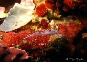 Facelina coronata (també Facelina auriculata)