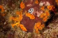"""Caleta, Palamós. La """"vaqueta suïssa"""" s'alimenta de l'esponja vermellosa Petrosia ficiformis. Les taques blanques són les parts que s'ha menjat. En aquesta esponja també s'hi han instal·lat anemones incrustants grogues: Parazoanthus axinellae."""