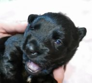 We have puppies! One male available!
