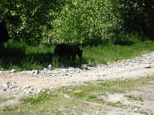 Black Bear Encounter