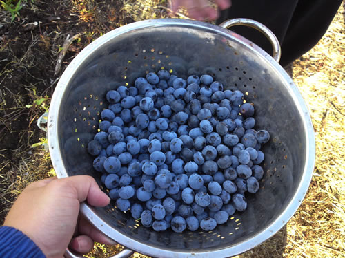 My blueberries for the day