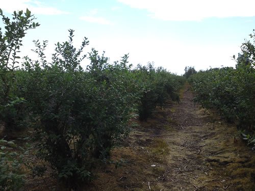 A row in the blueberry farm