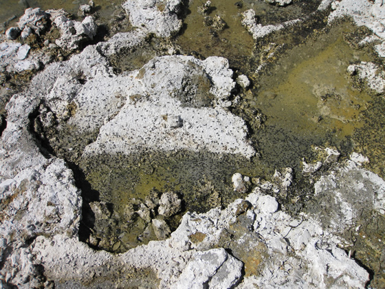 Mono Lake Alkali Flies