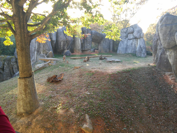 NC Zoo lions and cubs