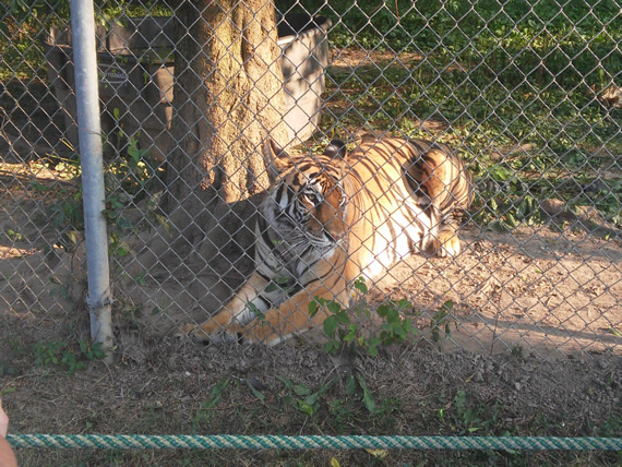 Carolina Tiger Rescue (1)
