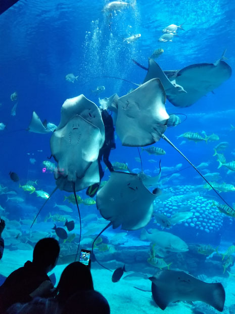Chimelong ray feeding