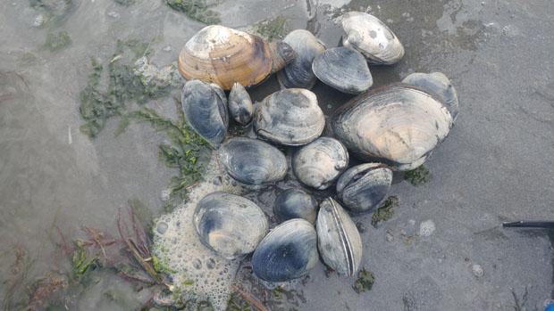 clam catch