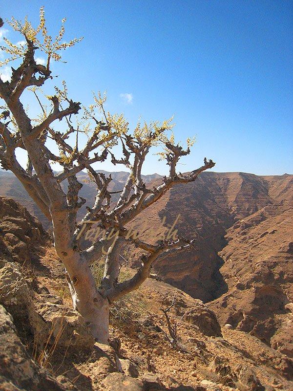 Frankincense Tree Najd Dhofar