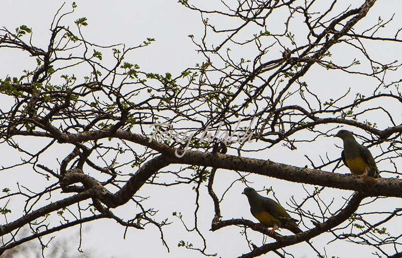 Bruces Green Pigeon Salalah