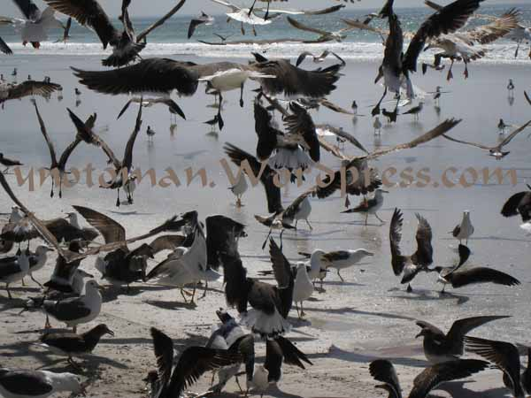 Seagulls descend on fish scraps in Oman