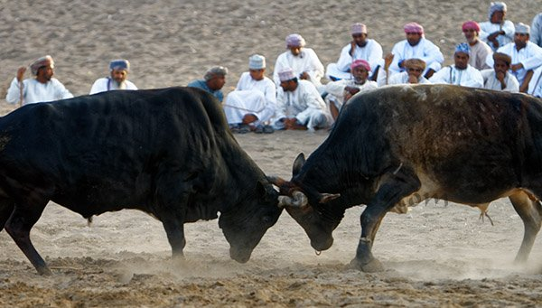 Bull Fight Khaboora Oman