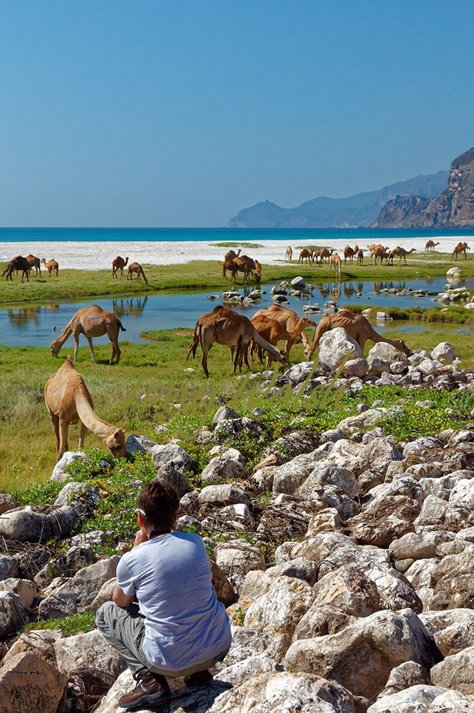 Camels on an Oman Beach in Dhofar