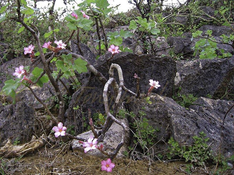 Desert Rose Adenium obesum Dhofar