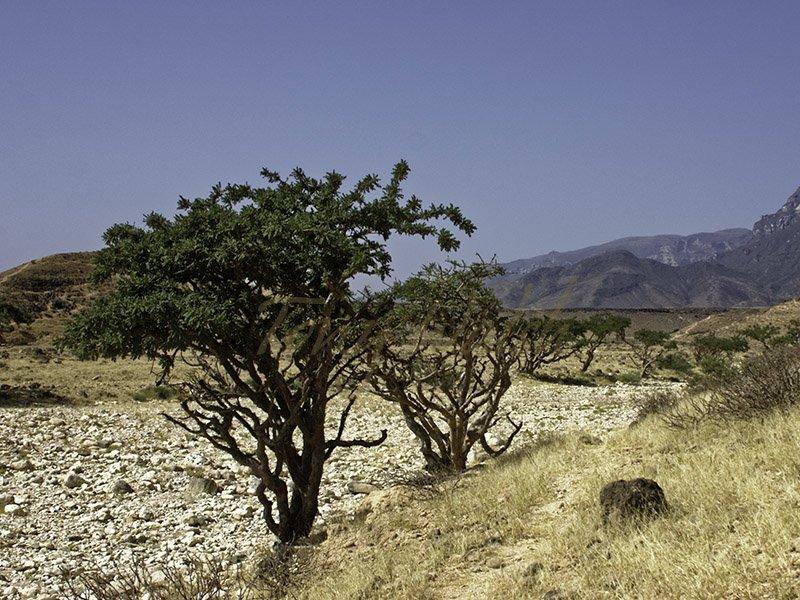 Frankincense Boswellia sacra Dhofar