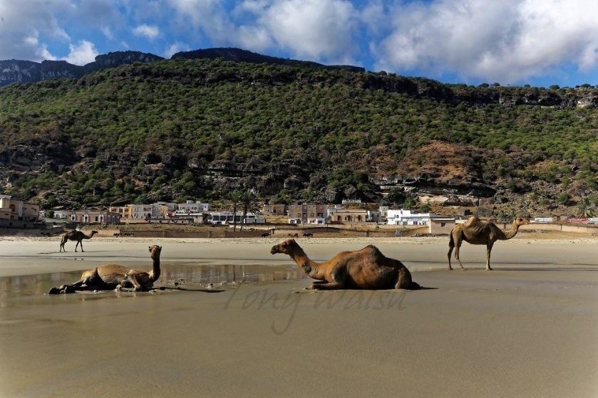 Camels on an Omani Beach