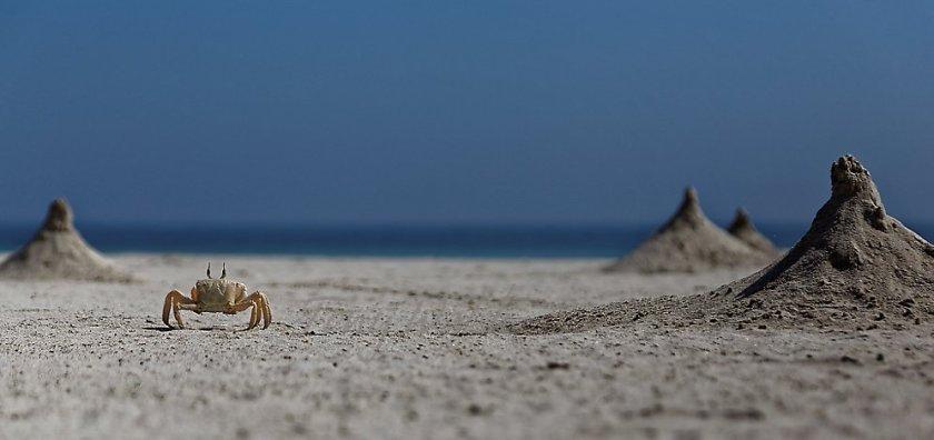 Ghost Crab Oman