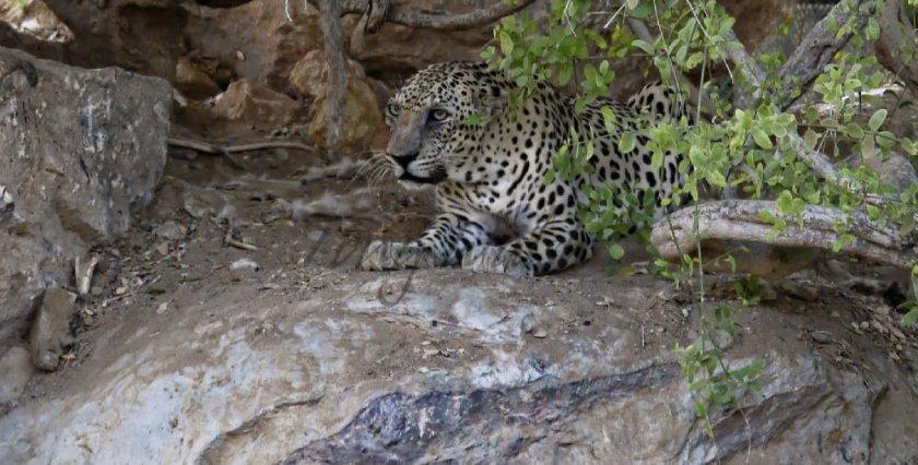 Arabian Leopard Oman