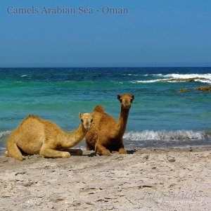 Camels Arabian Sea Oman