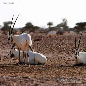 Oryx Jaluni