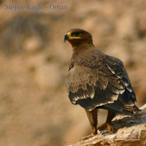 Steppe Eagle Oman