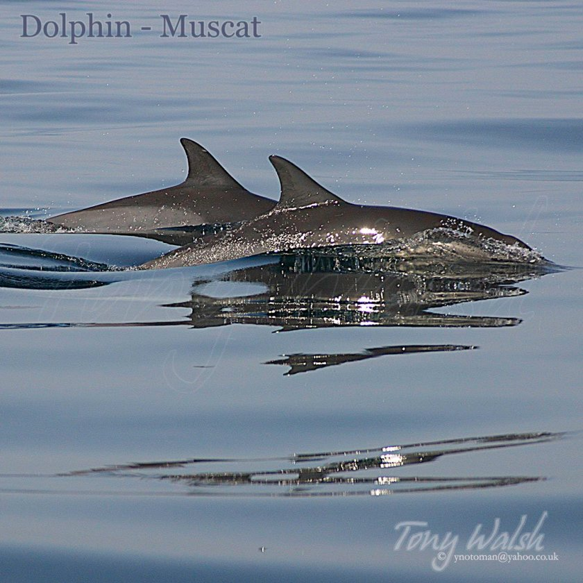 Two Dolphin Muscat
