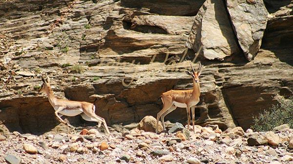 Arabian Gazelle Dhofar