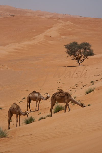 Camels in Wahiba Desert of Oman
