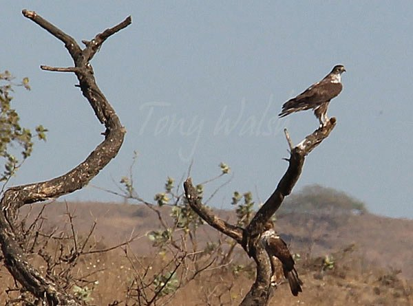 Short Toed Eagle