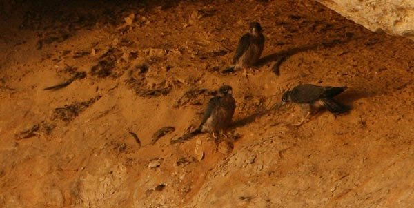 Falcons of Oman