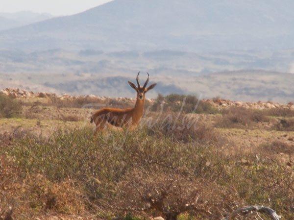 Gazelle Dhofar