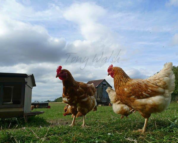 Hens East Anglia