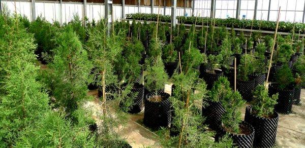 Juniper Trees Oman