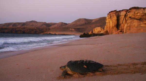 Green Turtle in Oman
