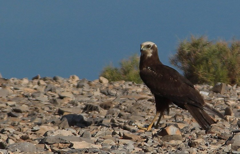 Western Marsh Harrier Oman