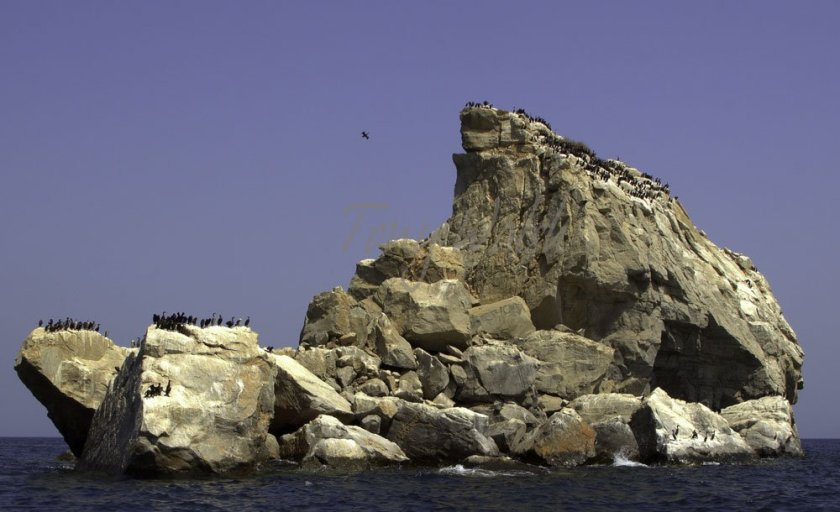 Socotra Cormorants in the Strait  of Hormuz