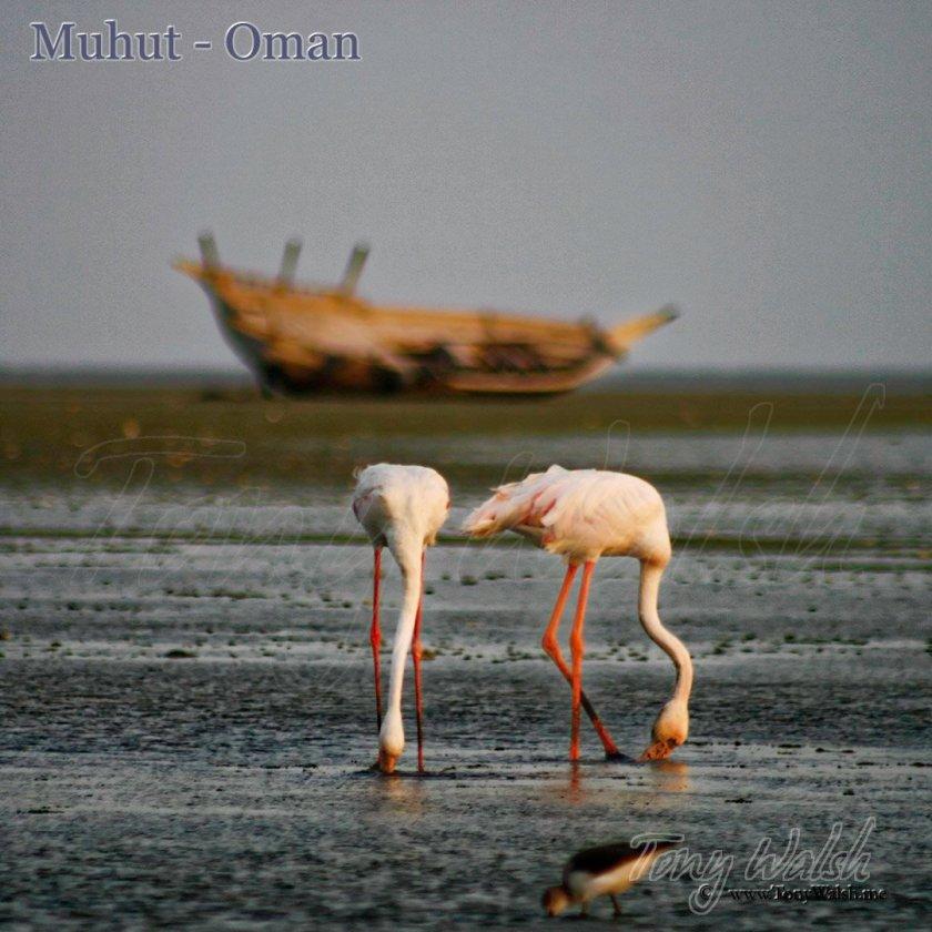 Flamingo Muhut Oman